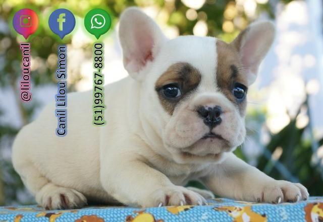 Lindo Filhote de Bulldog Francês
