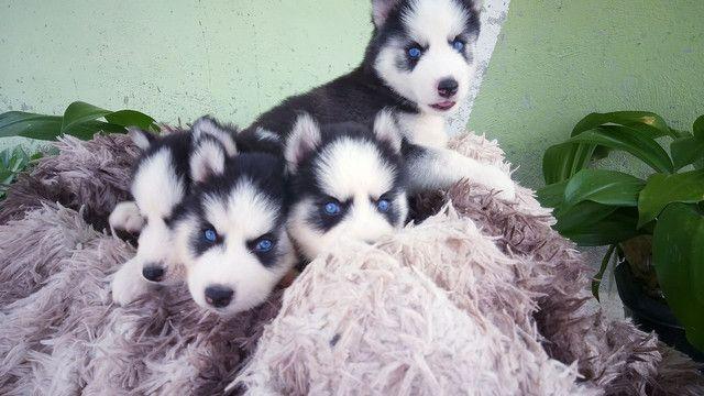 Filhotes de husky siberiano disponível  - Foto 5