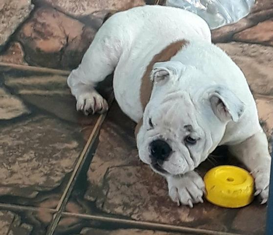 Lindo Bulldog inglês