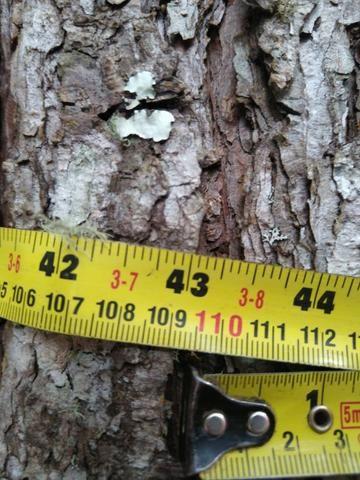 Venda de Pinus Taeda - Foto 3