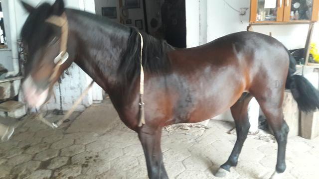 Cavalo Zaino - Foto 5