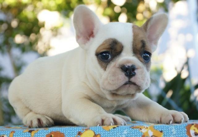 Lindo Filhote de Bulldog Francês - Foto 3