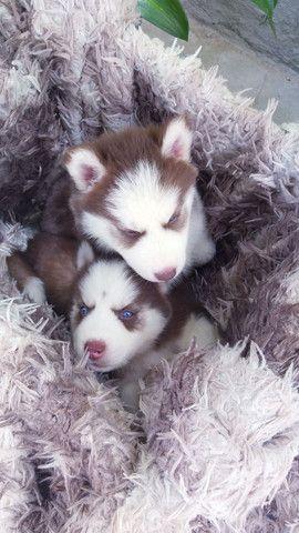 Filhotes de husky siberiano disponível  - Foto 4