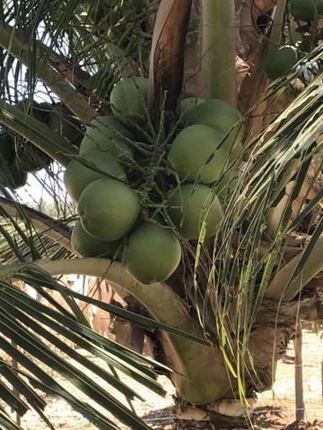 Coco verde - Foto 3
