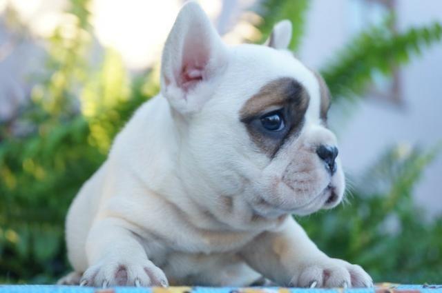 Lindo Filhote de Bulldog Francês - Foto 4
