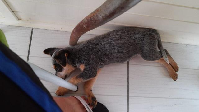 Vendo Filhote Fêmea de Australian Cattle Dog - Foto 3