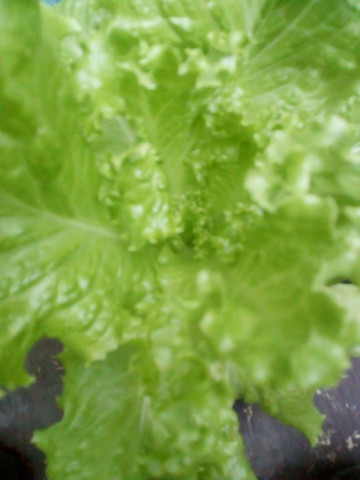 Pé de alface plantado no pote - Foto 2
