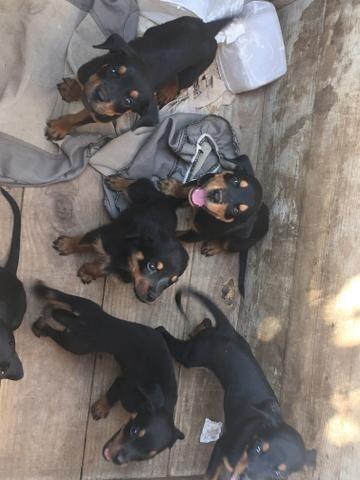 Vendo Rottweilers - Foto 3
