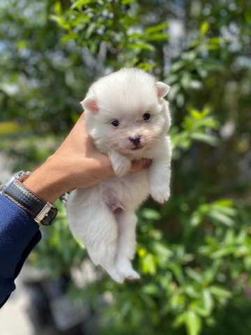 O mais belo filhote de Lulu da Pomerania branquinho - Ligue *. Garanta o seu