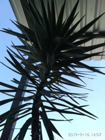 Palmeira Yuca - Foto 3