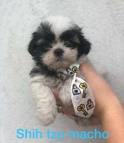 Shihtzu com pedigree - Foto 2