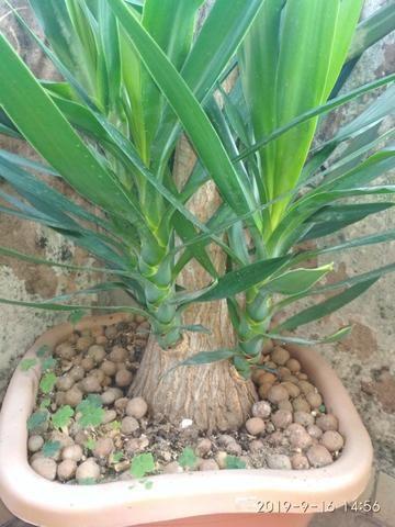 Palmeira Yuca - Foto 2