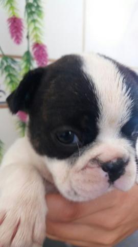 Machinho Bulldog francês - Foto 2
