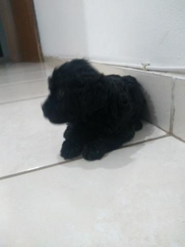 Cachorro poodle - Foto 3