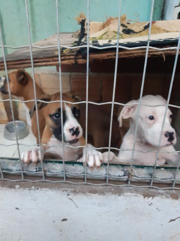 Cães box puro - Foto 3