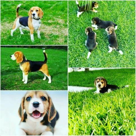 Linda filhote de beagle.