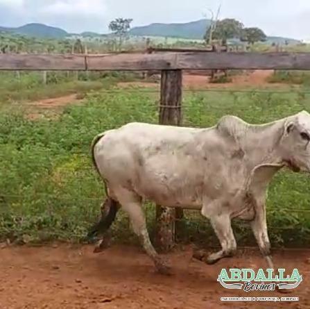 BOV1118 - 40 vacas nelore (8 paridas e 32 amojando/prenhe) 14/17@ - Barro Alto GO