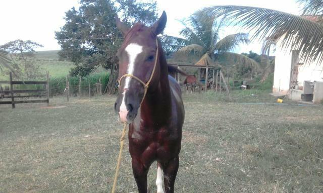 Vendo cavalo Quarto de Milha - Foto 2