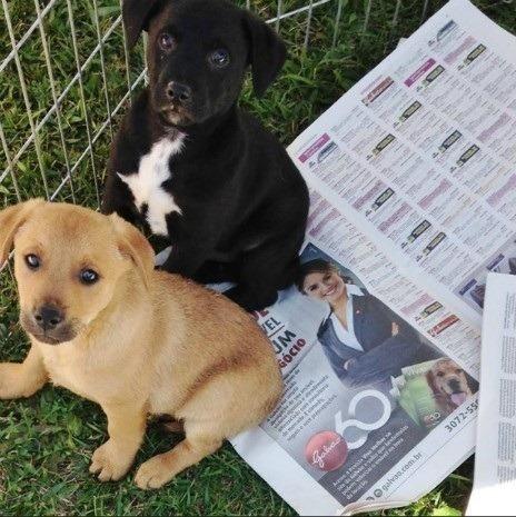 Labrador x dog brasileiro so 100 cada.chama no whats whats 9- *