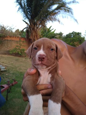 Filhos de Pitbull Monsters - Foto 4