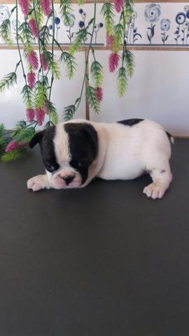 Machinho Bulldog francês - Foto 4