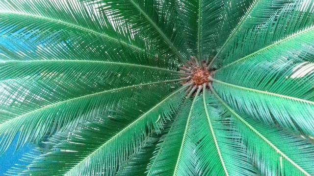 Planta sagu - Foto 3
