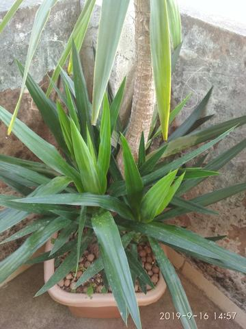 Palmeira Yuca - Foto 6