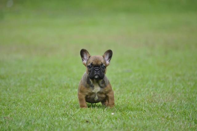 Bulldog francês filhotes em canil com qualidade e estrutura - Foto 2