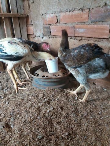 Tenho pra hoje 3 duzias de ovos de indio gigante verdadeiro - Foto 3