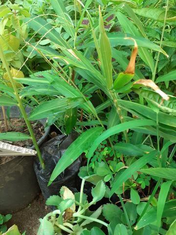 Plantas medicinais - Foto 4