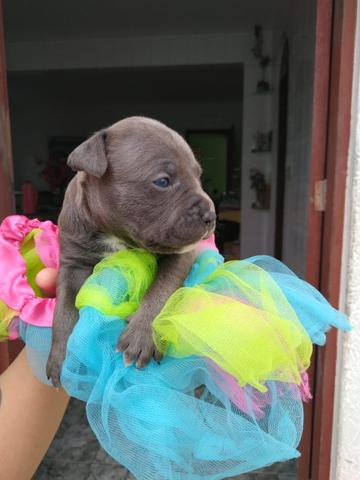 Filhotes american Staffordshire Terrier - Foto 2