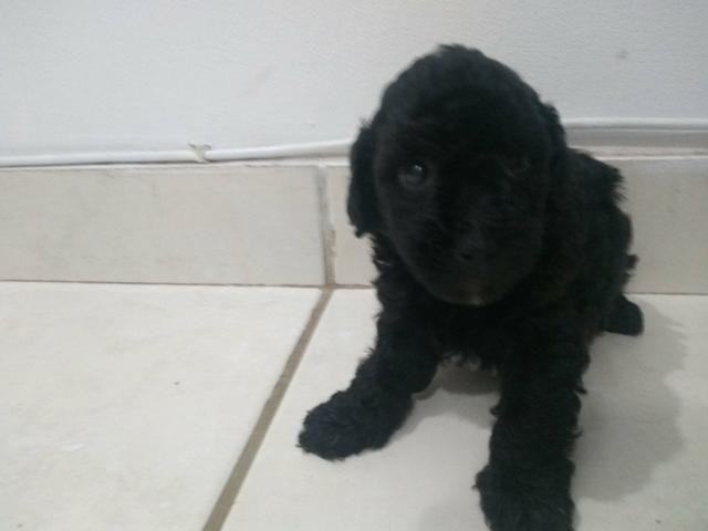 Cachorro poodle - Foto 4