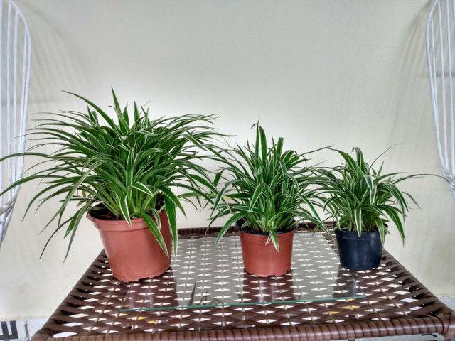 Vendo esse conjunto de planta capim paulista  - Foto 4