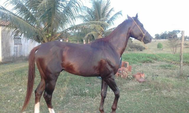 Vendo cavalo Quarto de Milha - Foto 3
