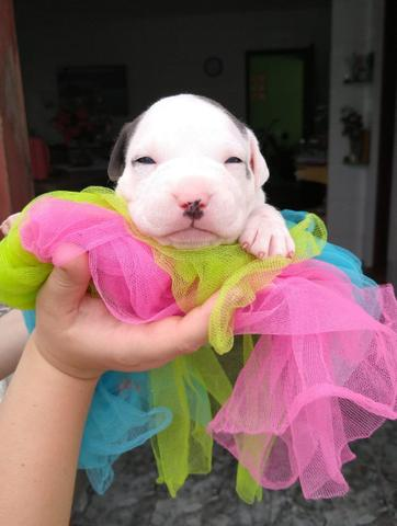 Filhotes american Staffordshire Terrier - Foto 3