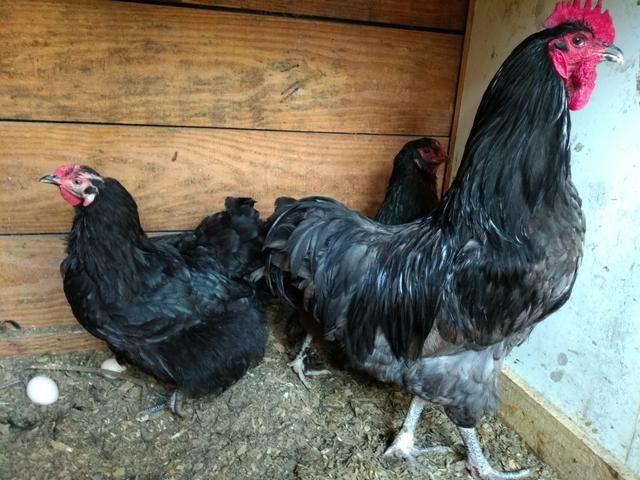 Ovos galados Brahma e várias raça - Foto 4