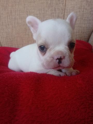 Bulldog francês 1.500