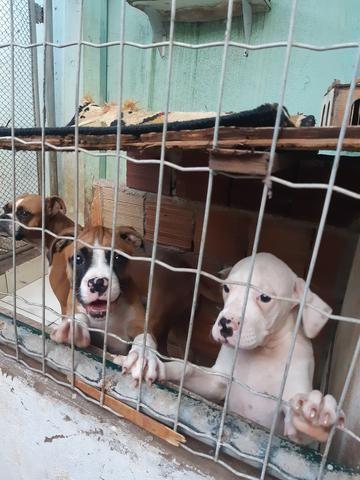 Cães box puro - Foto 2