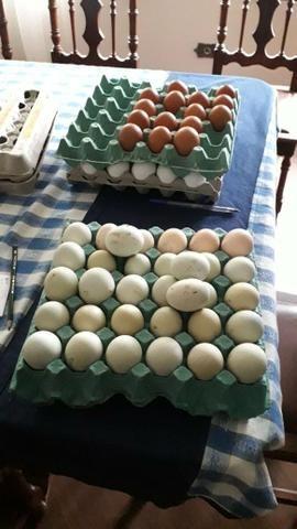 Ovos azuis e verdes