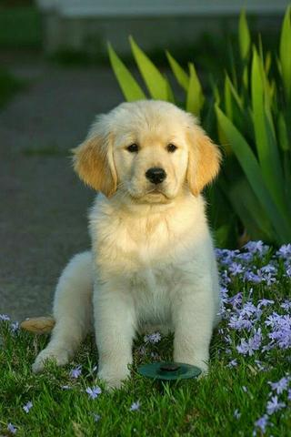 Golden retriever - Foto 2