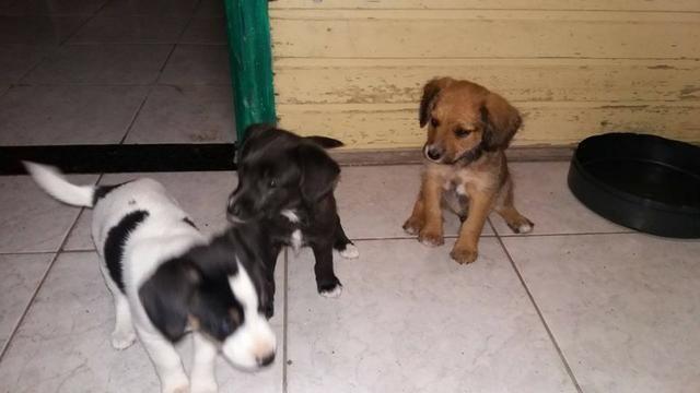 Labrador x dog brasileiro so 100 cada.chama no whats whats 9- * - Foto 2