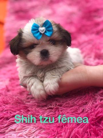 Shihtzu com pedigree