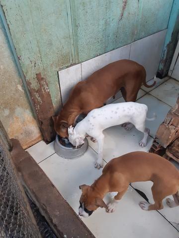Cães box puro