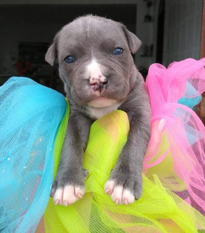 Filhotes american Staffordshire Terrier - Foto 5