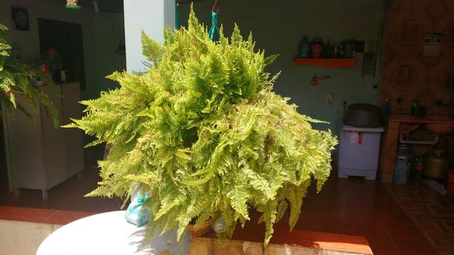 Samambaia (Planta em jarro de Pneu)