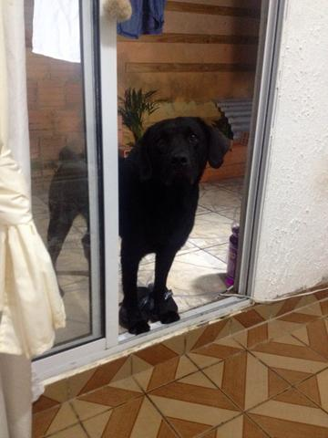 Labrador para cruza