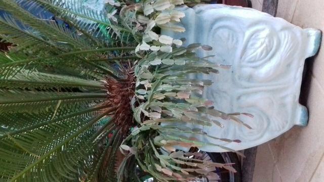 Planta sagu - Foto 4