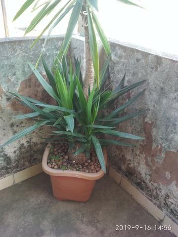 Palmeira Yuca