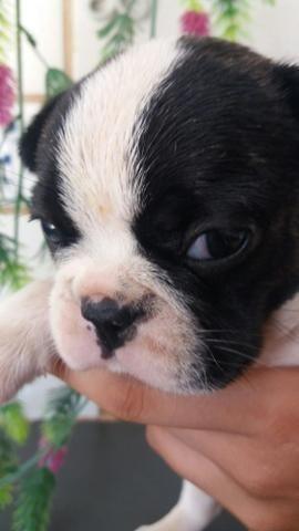 Machinho Bulldog francês - Foto 3
