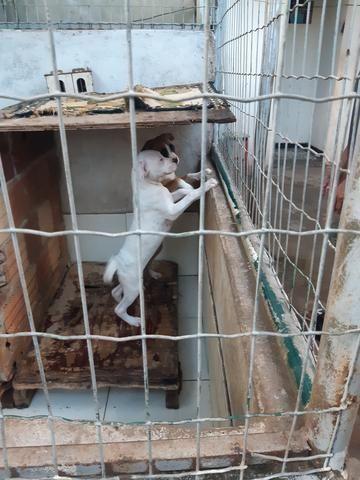 Cães box puro - Foto 5